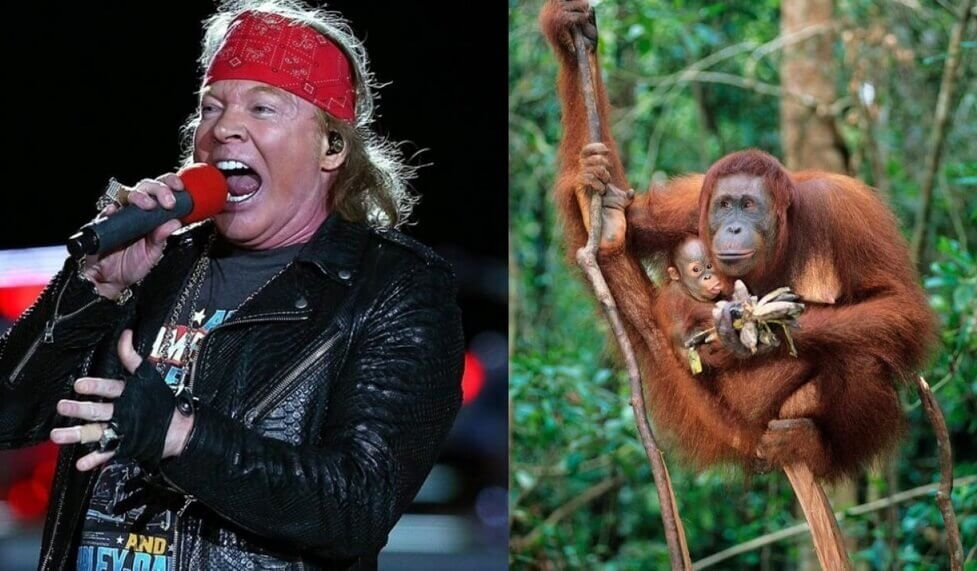 Axl rose and orangutan